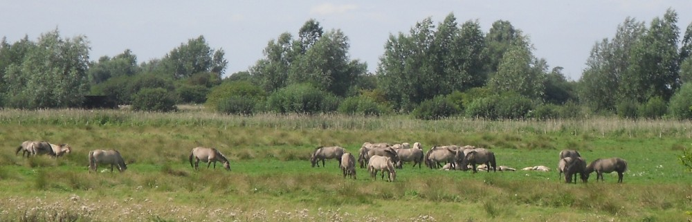 1 wild horses wicken fen 16 Aug 2009 crop