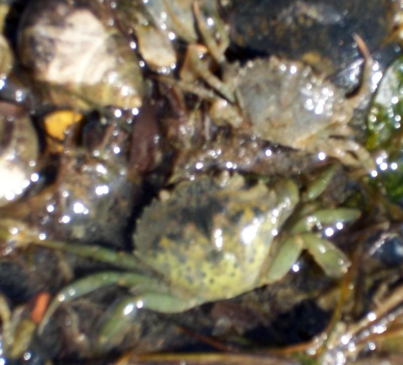 crabs ryde beach