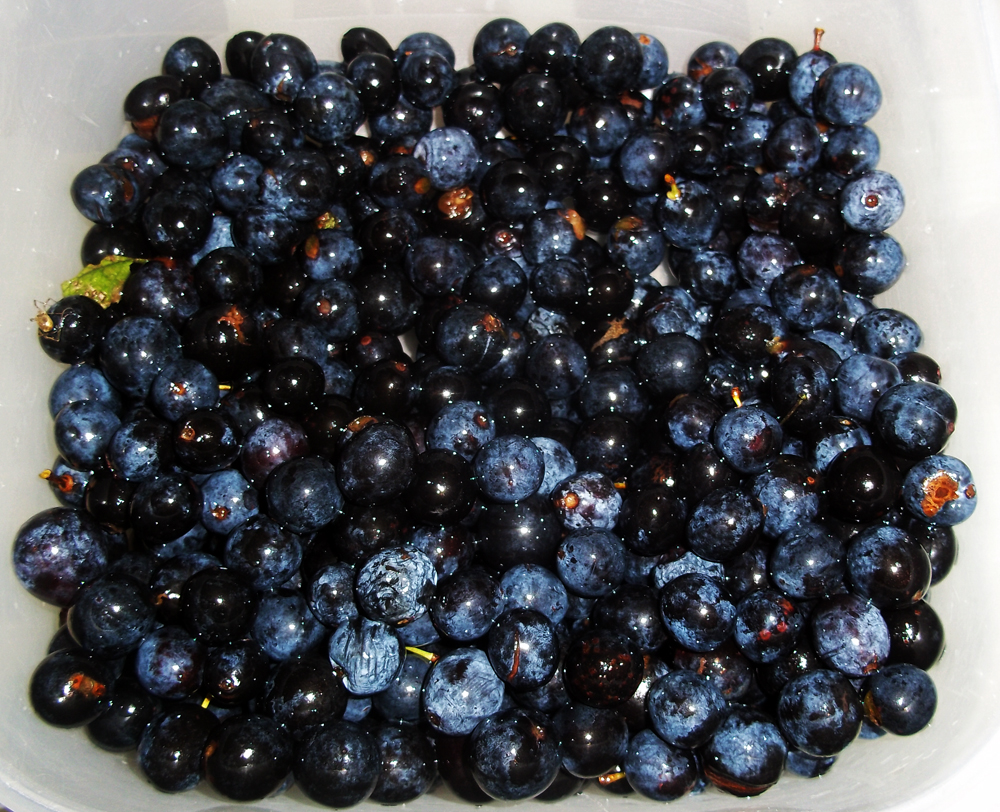 2013-11-10 sloes prepped