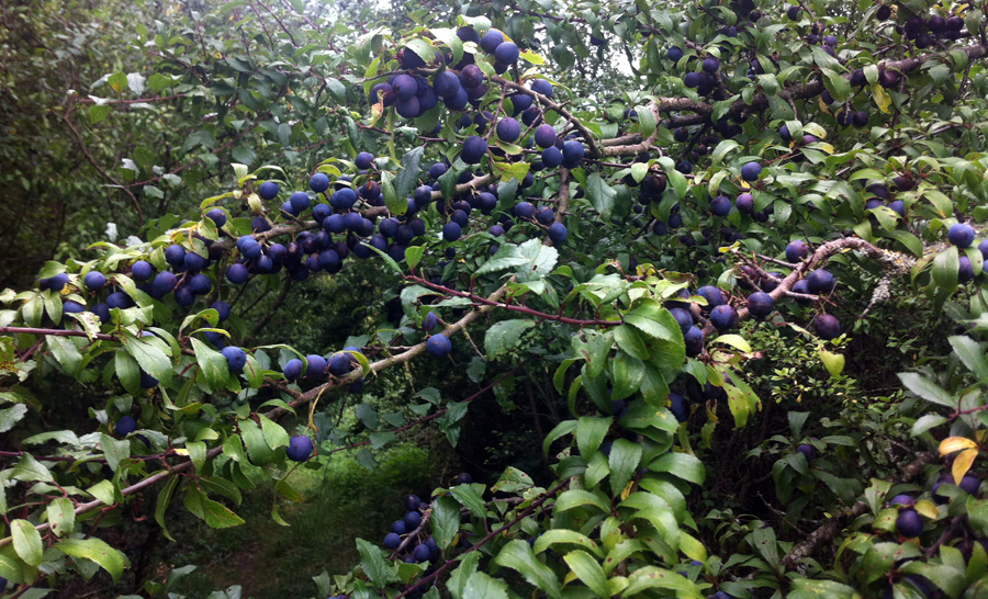 2014-08-16 sloes in Colerne
